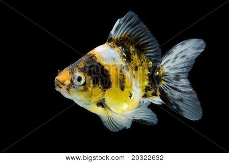 Sideview of calico ryukin goldfish swimming against black background.