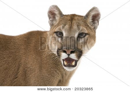 Head shot of a mountain lion on a white background