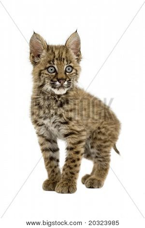 Baby bobcat gracefully posing for the camera