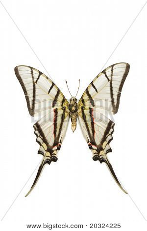 Bottom view of a Swallowtail butterfly (Eurytides protesilaus) originating from Peru isolated on a white background