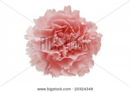 Pink carnation flower isolated on a white background