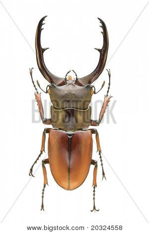 Top view of a large stag beetle (Cyclomatus elephus) from the Lucanidae family originating from Indonesia