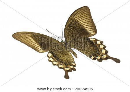 Angled bottom view of a swallowtail or birdwing butterfly (papilio blumei fruhstorferi) from the papilionidae family originating in indonesia isolated on a white background