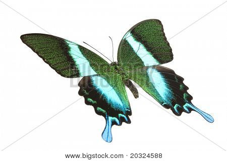 Angled top view of a swallowtail or birdwing butterfly (papilio blumei fruhstorferi) from the papilionidae family originating in indonesia isolated on a white background