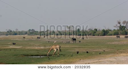 Animal Activity At Chobe Riverfront