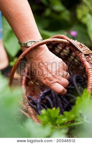 Woman - only hand to be seen - harvesting beans in her garden and putting them in a basket