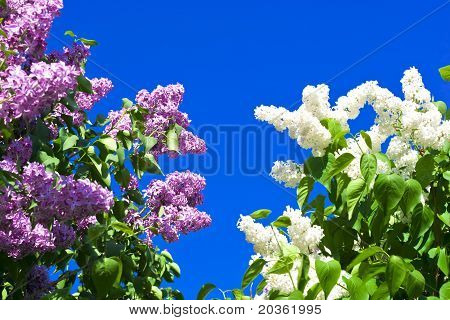 Violet And White Lilac