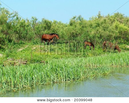 It is free grazed horses on a watering place. City on Water. The city of Vilkovo. The Odessa region. Ukraine. Delta of the river Danube.