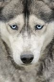 Portrait Of Siberian Husky With Blue Eyes poster