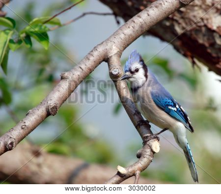 Blue Jay In An Apple Tree