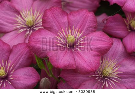 Lila Clematis