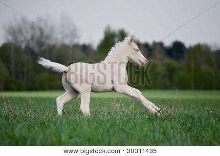 Creamy foal gallop in field