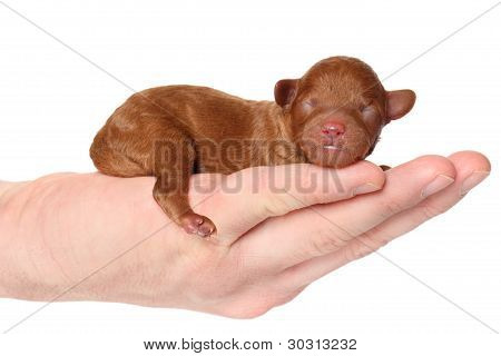 Poodle Puppy (2 Day) Lies In Hand