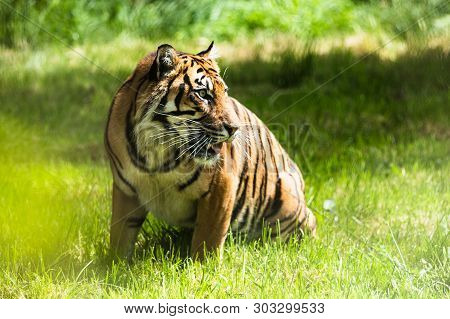 poster of A Sumatran Tiger, Which Originally Inhabits The Indonesian Island Of Sumatra. It Has Been Classified