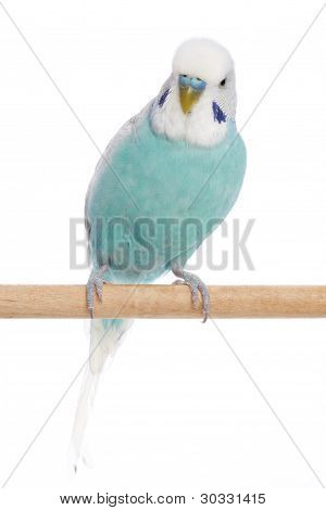 Budgerigar sits on Branch