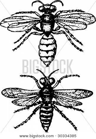 Insect philanthus triangulum