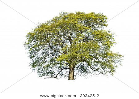 Green summer tree isolated