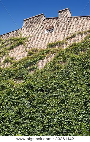 Wall On An Old House Covered With Ivy