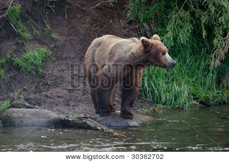 Alaskan Brown Bear Standing On The Shore