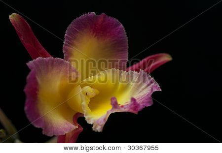 Purple and Yellow Orchid