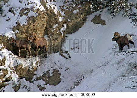 Bighorn Standoff