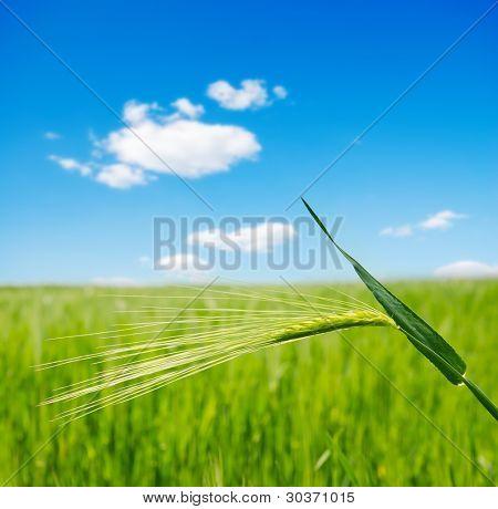 orelha verde ao longo do campo. foco suave