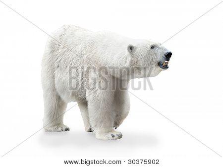 Polar bear female isolated on white background