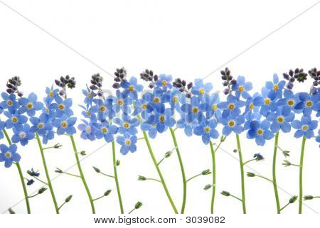 Blue Forget Me Not Flower