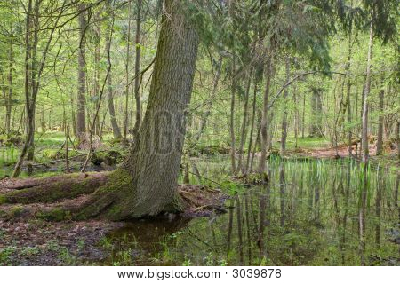 Old Spruce Over Water At Springtime Forest