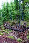 Alpine Meadow Besides A Lush Evergreen Forest Taken On Mountainous Terrain In Rural Washington State poster