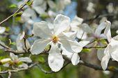 Magnolia Flower On Magnolia Tree. Close Up On Tender White Magnolia Flower. poster