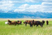 foto of tallgrass  - a group of horses grazing at green pasture - JPG