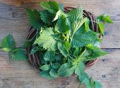 Stinging Nettle Leaves Background. Beautiful Spring Young Nettle. Top View Fresh Stinging Nettle Lea poster