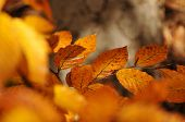 image of fall trees  - Beach golden leaves on the tree in close - JPG