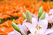 stock photo of asiatic lily  - Pink asiatic lily bloom in front of deep orange lily background