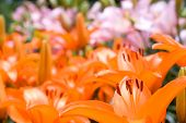 picture of asiatic lily  - Deep orange and pink asiatic lily to bloom all over
