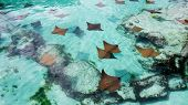 A Lot Of Young Sting Rays Swimming Slowly In The Warm Water Of Nassau In The Bahamas. poster