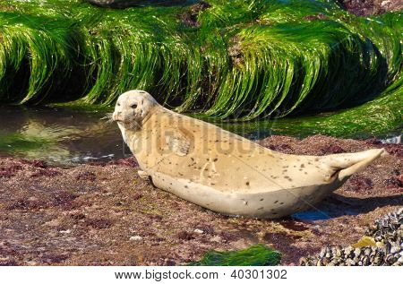 Seal on a rock surrounded by water. San Diego California Coast Line, La Jolla Shores in San Diego, California USA