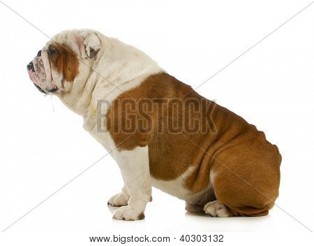 dog drooling - english bulldog with slobber running out of mouth on white background