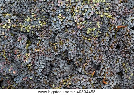 Fresh Grapes Just Picked From Wineyard