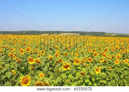 Beautiful Sunflowers Field Under The Hills