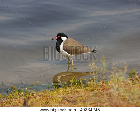 Red-winged Lapwing
