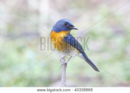 Chinese Blue Flycatcher Cyornis glaucicomans