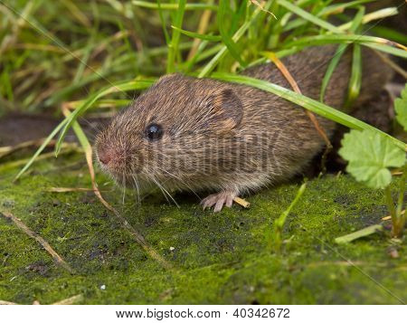 Field vole (Microtus agrestis) emerging from under grass