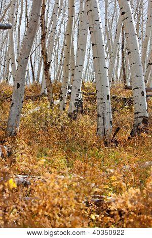 White Aspen Tree Trunks In Fall