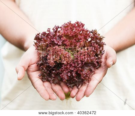 Hands Holdings A Fresh Purple Lettuce