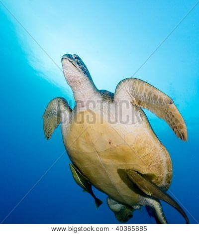 A Green Turtle Swims Towards The Surface With 2 Remora Attached To Its Underside