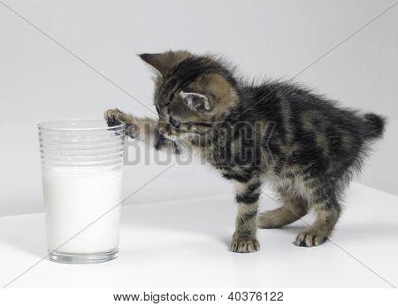 Kitten Touching A Glass Of Milk