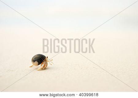 Cangrejo ermitaño