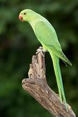 picture of ringneck  - A female Ringnecked Parakeet photographed in Dubai in the United Arab Emirates - JPG